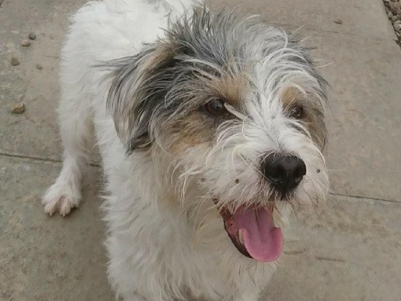 Jack Russell -Fox Terrier