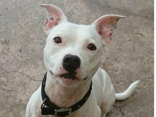 Kimba 3 year old Staffordshire Bull Terrier